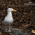 Great Black backed Gull 3